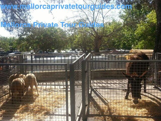 Sineu livestock market